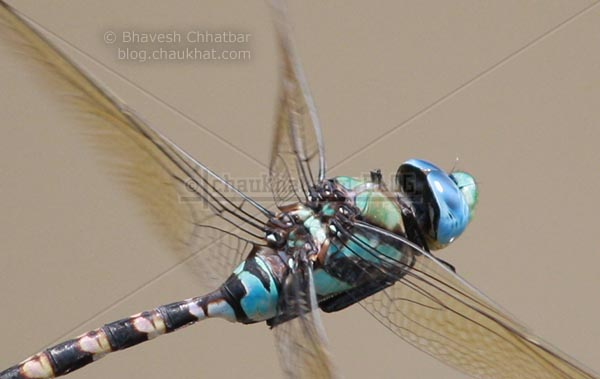Ground Skimmer [Diplacodes Trivialis] - Diagonal beauty